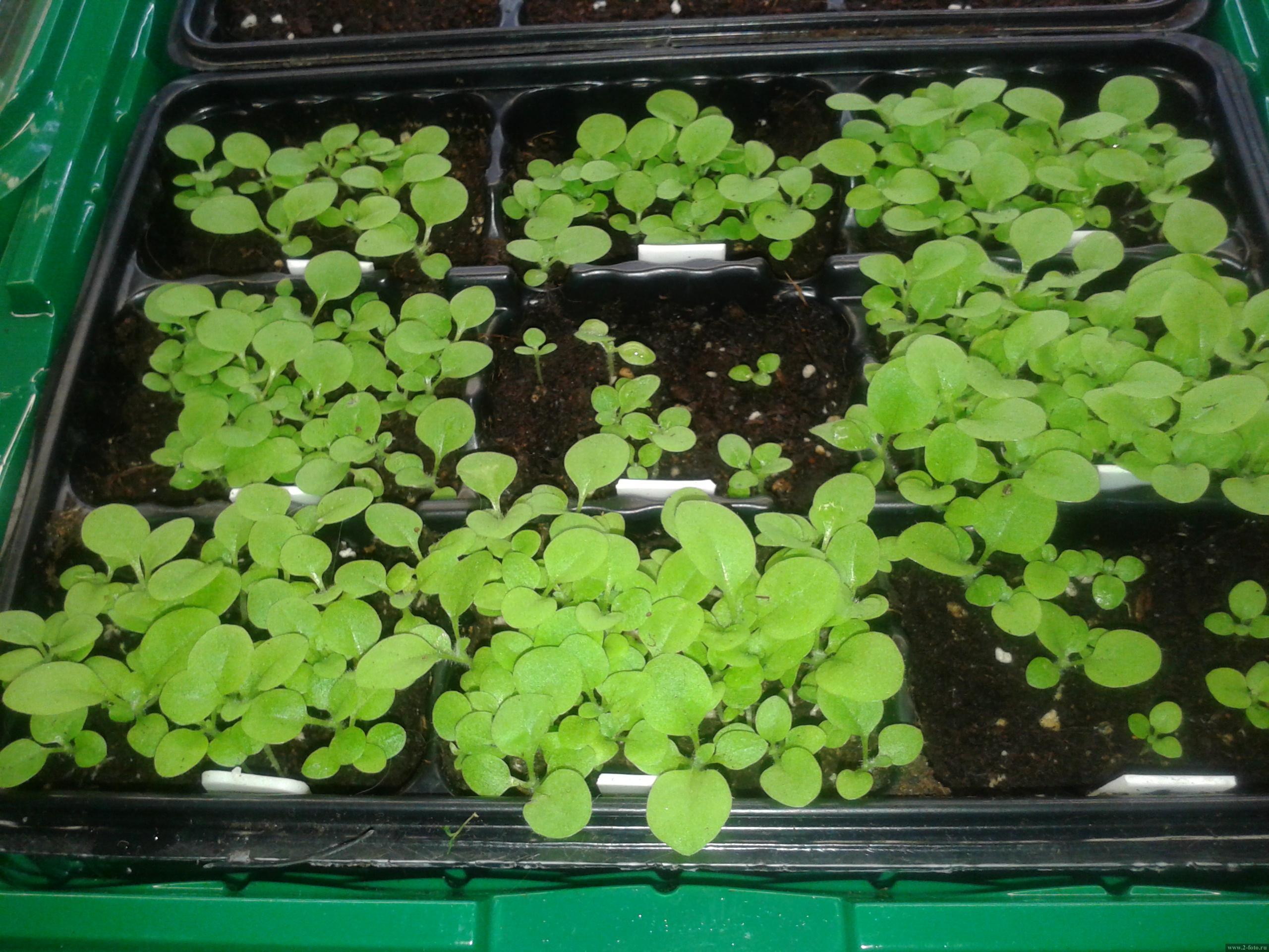 Табак душистый, выращивание из семян, посадка и уход за ним 87